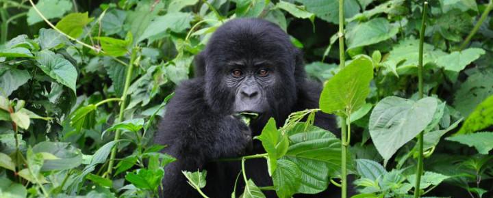 Schimpansen- und Gorillatrekking in Uganda