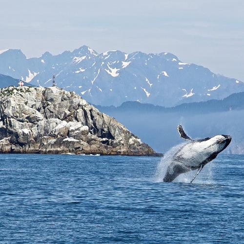 Alaska Buckelwal