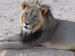 Löwe im Kgalagadi-Transfrontier-Nationalpark in Botswana