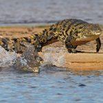 Okavango: Krokodile