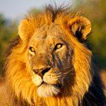 Männlicher Löwe