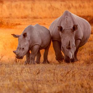 Bild: Nashornmutter mit Jungem