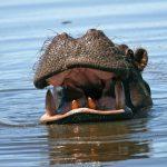 Okavango: Nilpferd