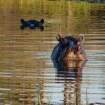 Okavango: Nilpferde