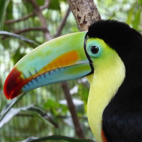 Costarica - Tukan