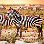 Zebras in der Serengeti-Safari