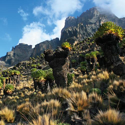 Senezien Mt. Kenya