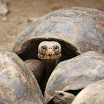 Riesenschildkröten auf den Galapagos
