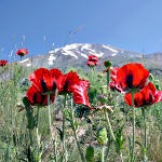 Mohn am Damavand