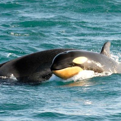 "Orca ""Yellowbabe"""