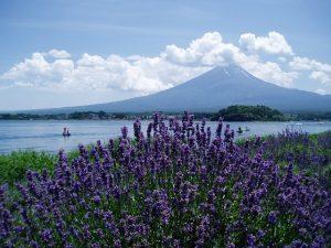 Blick durch ein Lavendel-Feld vom Kawaguchi-See auf den Mt. Fuji