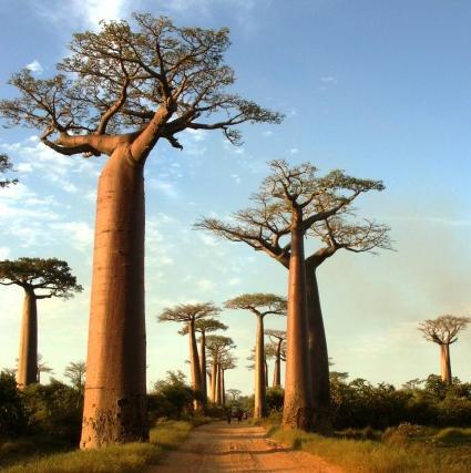 Morondava Baobaballee