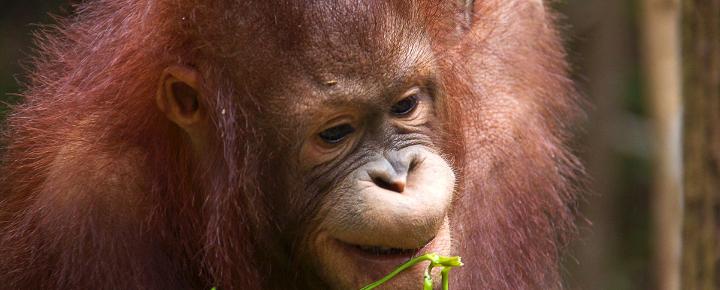 Orang Utans - Dschungel-Wanderungen - Fluss-Safaris