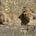 Löwenkind