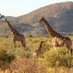 Giraffenfamilie in Nord-Namibia