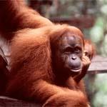 Malaysia - Naturreisen - Zu den Orang Utans und Nasenaffen auf Borneo