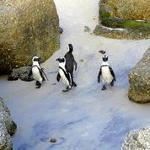 Pinguine Cape Hope