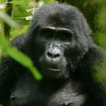 naturreisen-uganda-trekking-gorillas-schimpansen