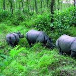 Nashorn-Familie