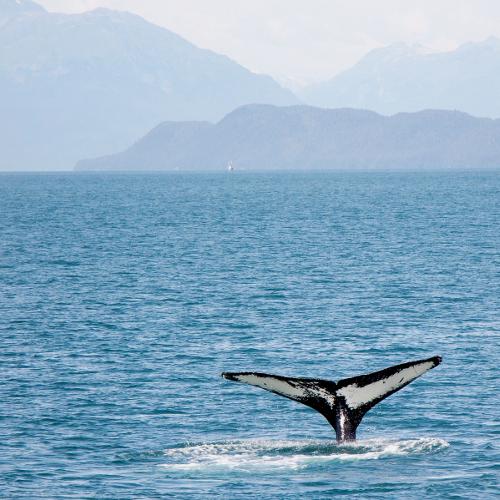 Wal-Fluke beim Whale Watching auf den Vesteralen