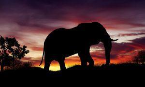 Afrika - Elefant im Sonnenuntergang