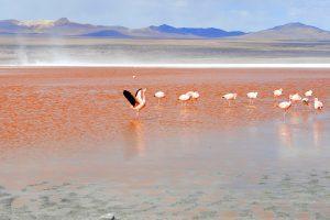 Bolivien - Flamingos in der Laguna Colorada (Rote Lagune)