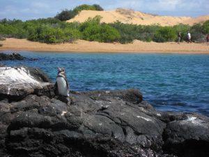 Galapagos - Pinguin