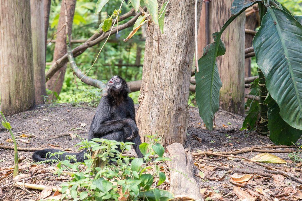 Kongo - Bonobo im Dschungel
