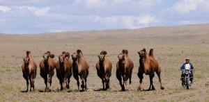 Nomade mit Kamelen in der mongolischen Steppe