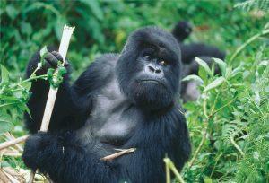 Ruanda - Gorilla-Silberrücken im ruandischen Dschungel
