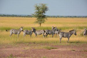 Tansania - Zebra-Herde auf Serengeti Safari