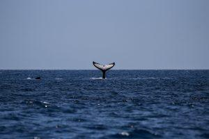 Whale Watching, Buckelwale