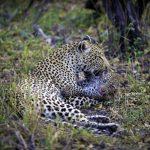 Luangwa NP Leoparden