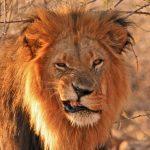 Löwe in Simbabwe
