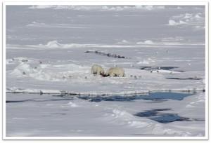 Eisbären auf Spitzbergen