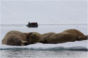 Walrosse auf Spitzbergen