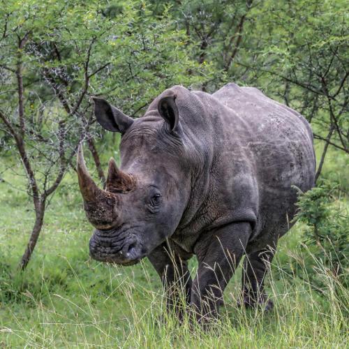 Nashorn auf Südafrika-Safari