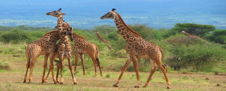 Serengeti, Selous und Usambaraberge