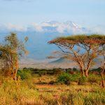 Kilimanjaro Schirmakazien