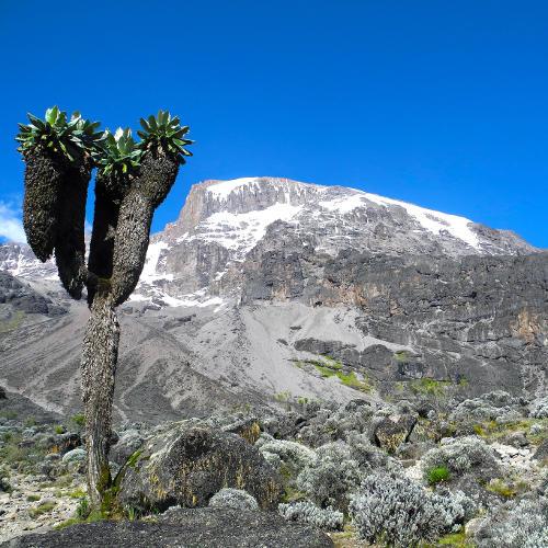 Kilimanjaro Senezie