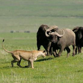 Löwin Büffelherde