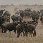 Serengeti Gnus