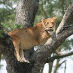 Löwe im Baum