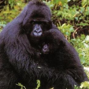 Gorilla Mutter und Kind